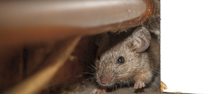Bay Area rodent proofing