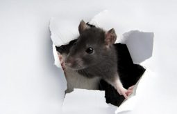 bay area rodent proofing, oakland rodent proofing